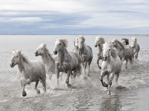 wild-horses-camargue_56403_990x742.jpg
