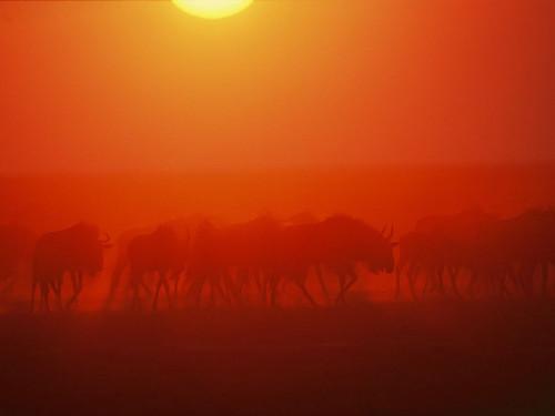 wildebeests-dust-zambia_28116_990x742.jpg