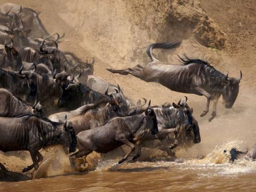 wildebeests-jumping-kenya_28400_990x742.jpg