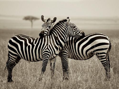 zebra-pair-kenya_56404_990x742.jpg