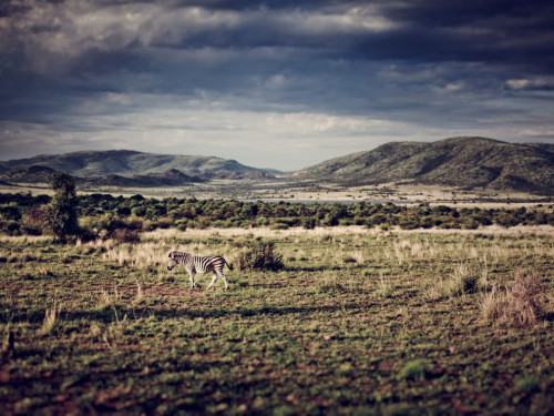 zebra-south-africa-pilanesberg_32027_990x742.jpg