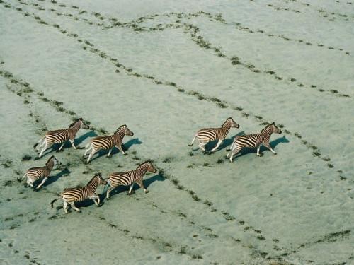 zebras-botswana-haas_28117_990x742.jpg